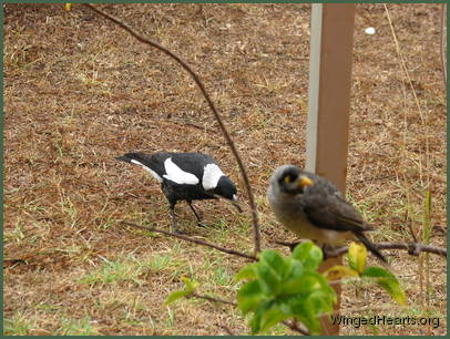 A year later - Sparky magpie and Chipkin