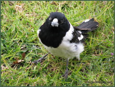 butcherbird with conjunctivitis