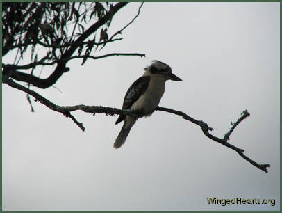 A cloudy start to the day has the Kookaburra musing