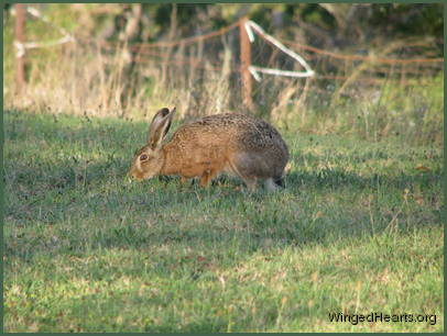 While the hare's glad for fresh grass