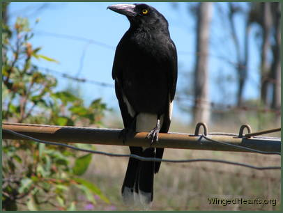 Kari currawong's in deep contemplation