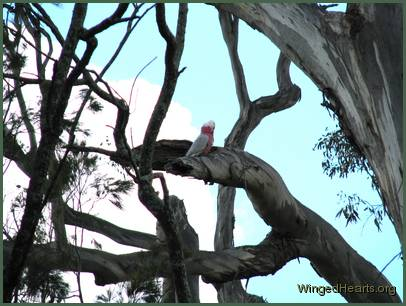 Why is that Galah calling out to me for no apparent reason?
