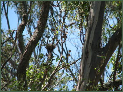 Don't miss my nest - Minnie noisy-miner cheeps