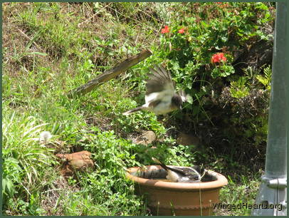 chucky pied-butcherbird jumping on his brother Dimpy