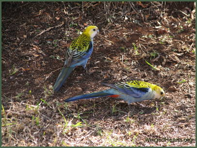 rosellas enjoying some grass seeds
