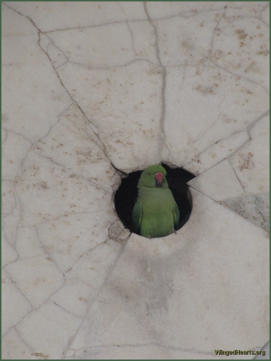 parrot at marble tomb in agra